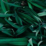 Wat is een Agave plant?